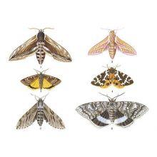 Nattfjärilar
