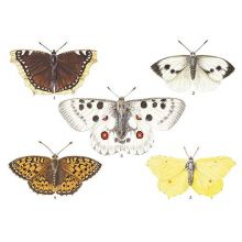 Dagfjärilar