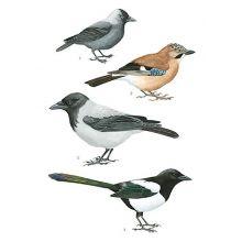 Kråkfåglar