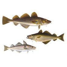 Torskartade fiskar 1
