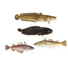Torskartade fiskar 2