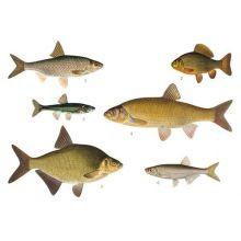 Karpartade fiskar