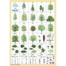 Svenska träd A4
